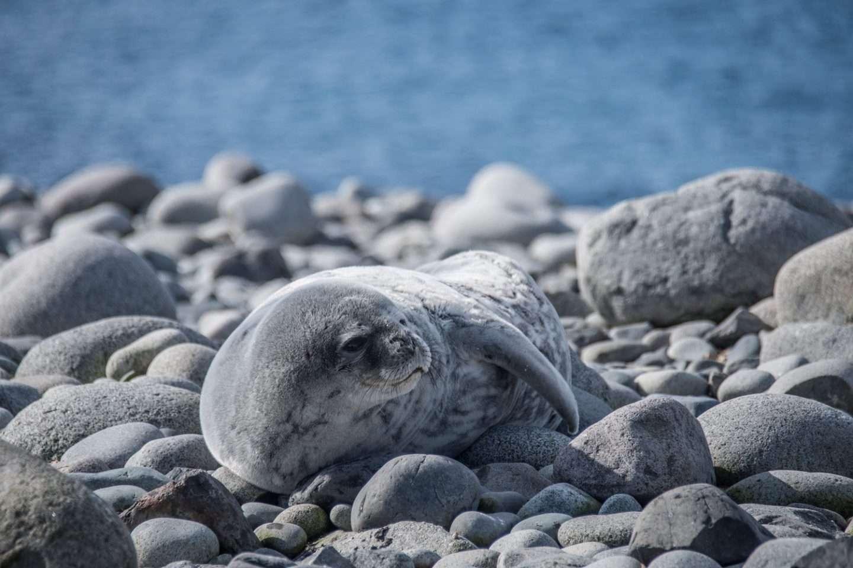 Antarktis Seelöwe