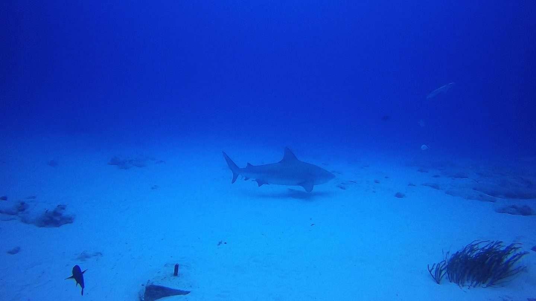Tauchen mit Bullenhaien in Playa del Carmen